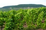 Grapevines in summer
